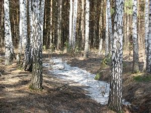 в берёзовом лесу ещё лежит снег