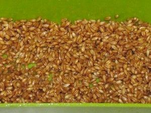 набухшее зерно