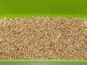 сухая пшеница